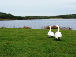 Swans at Druridge Bay parkrun