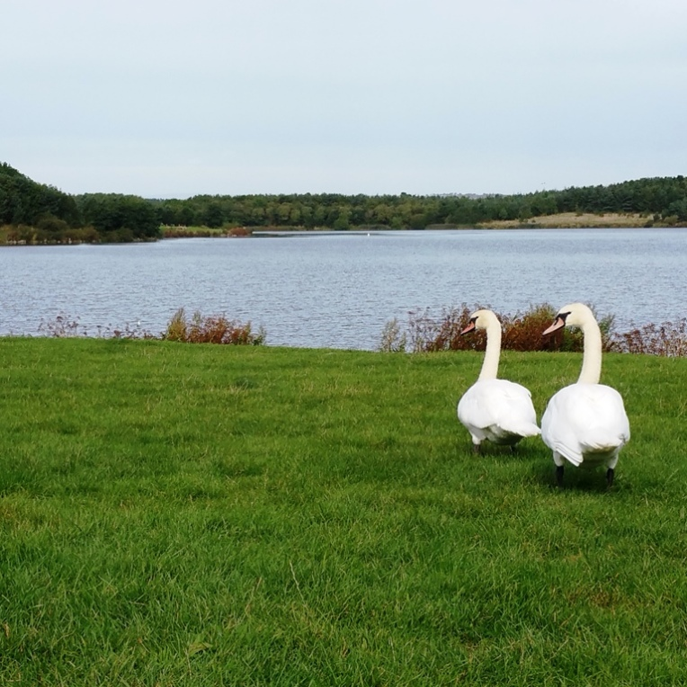Swans at Druridge Bay parkrun